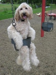 funny-dog-in-a-swing